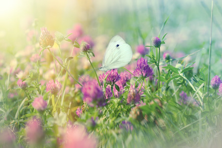 White butterfly on flowering meadow - butterfly on flowering, blooming clover Stock Photo - 71622407
