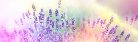 Soft focus sur les fleurs de lavande dans le jardin de fleurs, fleurs de lavande éclairées par la lumière du soleil Banque d'images