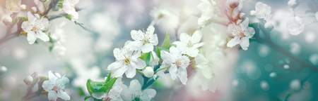 Selective focus on flower petals and stamens - beautiful flowering fruit tree 版權商用圖片