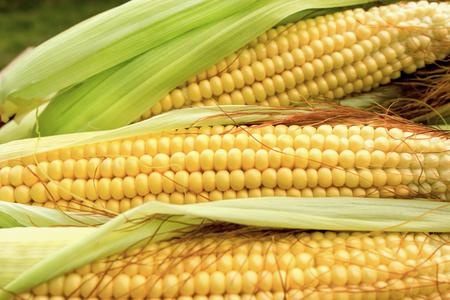 Fresh organic corn on cob close-up
