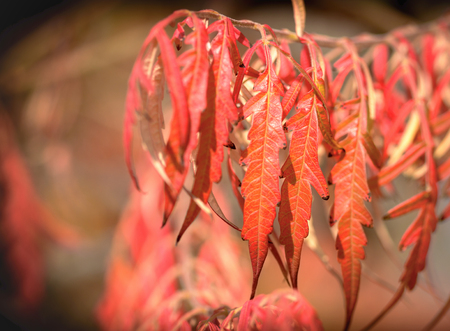 Selective focus on red autumn leaves Stock Photo
