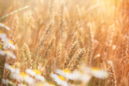 barley head: Wheat field and wild chamomile (daisy flower) lit by sunlight in late afternoon Stock Photo
