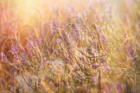 barley head: Wheat field and lavender flower lit by sunlight - beautiful nature