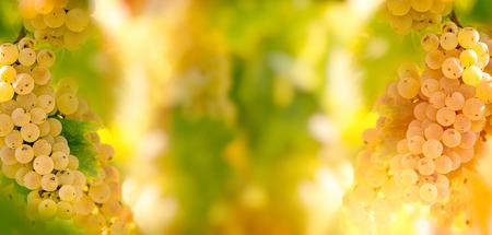 Seasonal, autumn fruit - grape Riesling (wine grape) on grapevine in vineyard - on grapevine Stock Photo