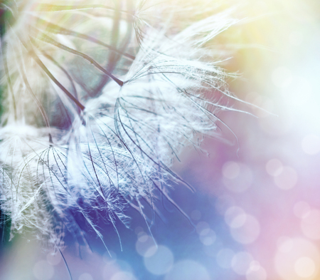Beautiful dandelion seeds closeup - selective focus on dandelion seeds Stock Photo