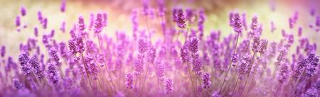 ラベンダーの花、花の庭の日光に照らされたラベンダーの花に焦点を当てて