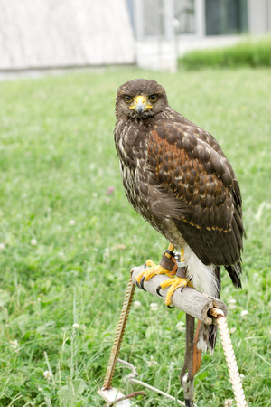 Hawk - falcon is ready for hunting, falcon standing and looking