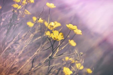 Buttercup flower in meadow, yellow flowers in grass
