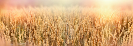 Seed of beautiful dry grass, grass in meadow lit by sunlight in late afternoon, beautiful nature-landscape Stock Photo