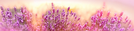 Soft and selective focus on lavender flower, beautiful lavender in flower garden Stock Photo - 110263288