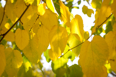 Autumn start, the leaves yellowish, yellow leaf on branch