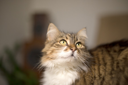 Beautiful long-haired cat looks and poses