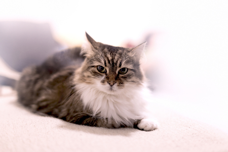 Beautiful long-haired cat lies on bad, cat looks and poses Фото со стока