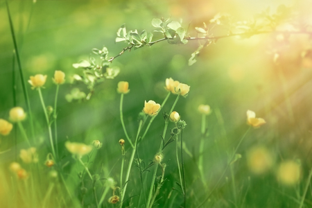 Flowering flowers in spring, flowering (blooming) buttercup Archivio Fotografico