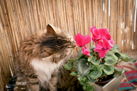 Beautiful long-haired cat, cat snout flower on balcony