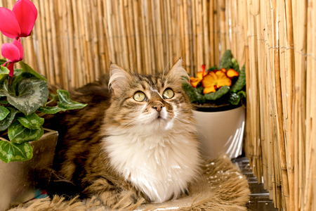 Beautiful long-haired cat, cat sits and poses on the balcony between flowers