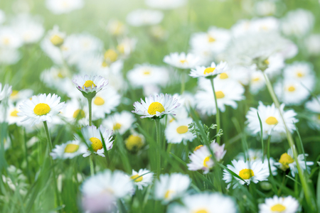 Daisy flower in meadow, spring in meadow, beautiful nature