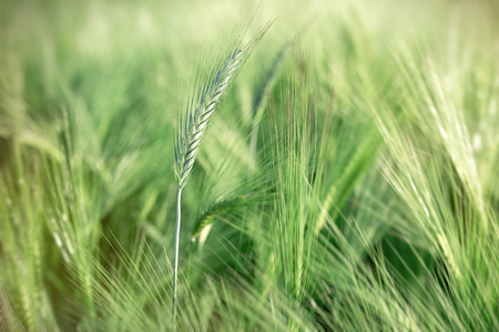 Unripe wheat, green wheat field (good harvest is expected)
