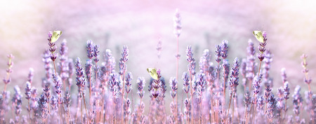 Selective focus on white butterfly on lavender flower in flower garden