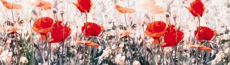 Poppy flower, flowering wild red poppy flowers in meadow - beauty in nature