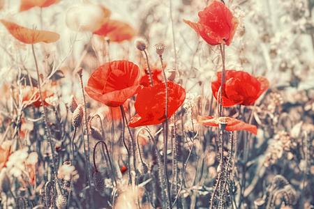 Beautiful flowering meadow flowers, blooming red poppy flowers