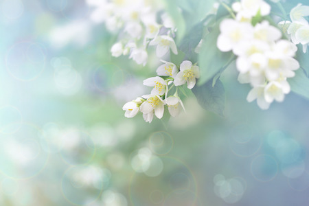 Jasmine flower, branch of beautiful jasmine flowers Archivio Fotografico