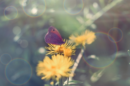 Butterfly on yellow flower, purple butterfly colecting polen and nectar - beautiful nature in spring