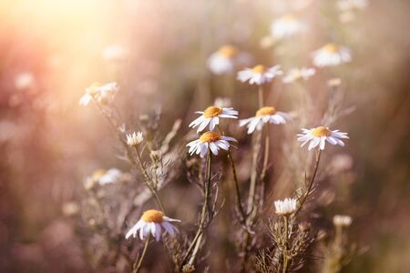 Chamomile, wild chamomile in meadow lit by sunlight