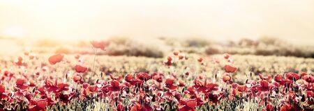 Beautiful nature, beautiful landscape, flowering poppy flower in meadow