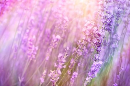 Lavender flower in garden, selective and soft focus on flowers