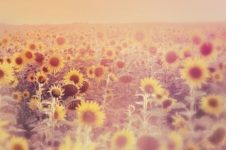 Agricultural field, landscape with sunflowers Imagens