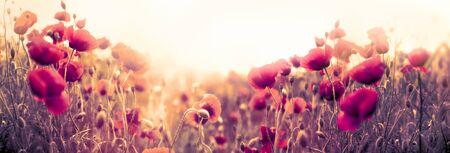 Poppy flower, wild red poppy flowers in meadow Stock Photo