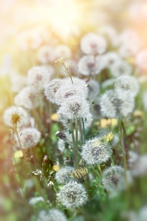 Dandelion seeds in meadow, beautiful nature in spring