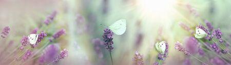Messa a fuoco selettiva sulle farfalle bianche nel giardino di lavanda Archivio Fotografico