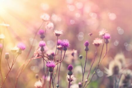 Beautiful flowering, blooming thistle (burdock) in meadow, purple flowers lit by sun rays - beautiful nature