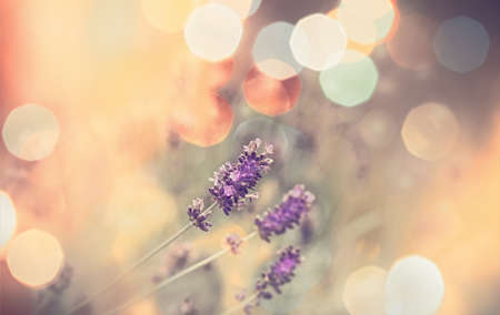 Selective and soft focus on lavender, beautiful nature in flower garden Stok Fotoğraf