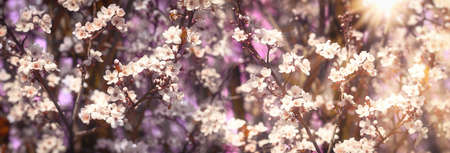 Flowering tree, beautiful nature in spring, branches in bloom lit by sun rays
