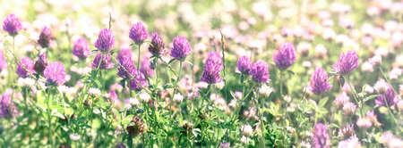 Clover flower, flowering red clover and white clower in meadow, beautiful nature in spring Фото со стока