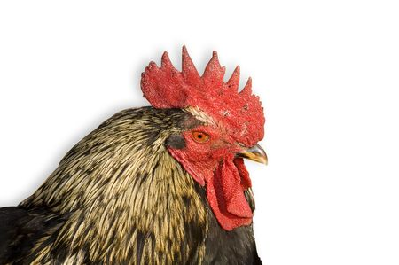 rooster and white background Stock Photo - 2547031