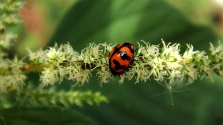 coccinella: Coccinella transversalis (Transverse Ladybird)