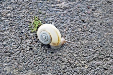 copse: Copse Snail  Arianta arbustorum