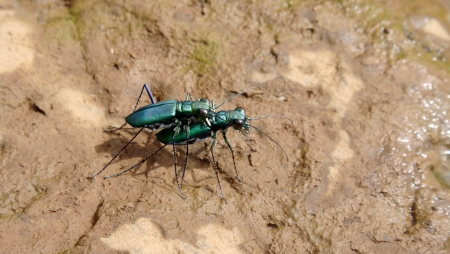 carabid: Green Tiger Beetles mating,Satara, Mahatashtra, India