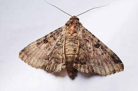 inddor: Pine Hawk Moth indoor shot PoonaMahrshtraIndia