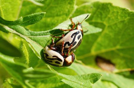 coccinella: Harmonia axyridis insectPoonaMaharashtraIndia