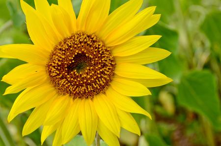 helianthus: Sunflower Helianthus annuus L. Helianthus aridus RydbPoonaMahrashtraIndia