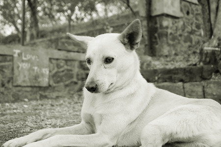 mans best friend: Country dog sitting,Parvati, Poona,Mahrshtra,India Stock Photo