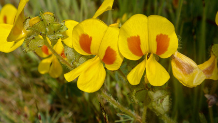 fabaceae: Bristly Smithia, Smithia setulosa, Fabaceae pea family,Kass,Satara,Mahrshtra,India