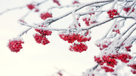Red rowan berries covered with white hoarfrost