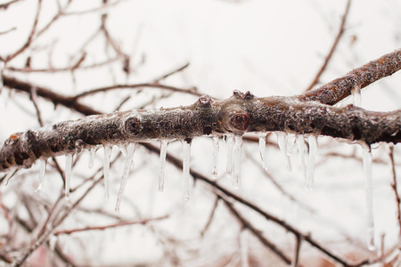 wintry weather: Ice-covered tree branches after freezing rain