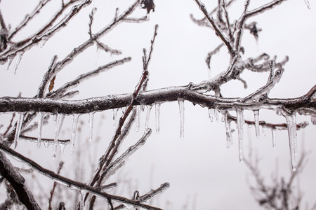 wintry weather: Ice-covered branches tree after freezing rain